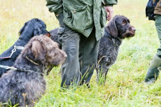 hunting-dogs-with-hunter